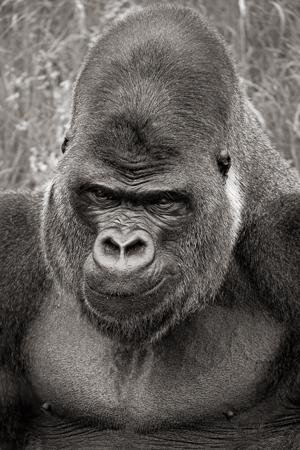 gorilla-34449